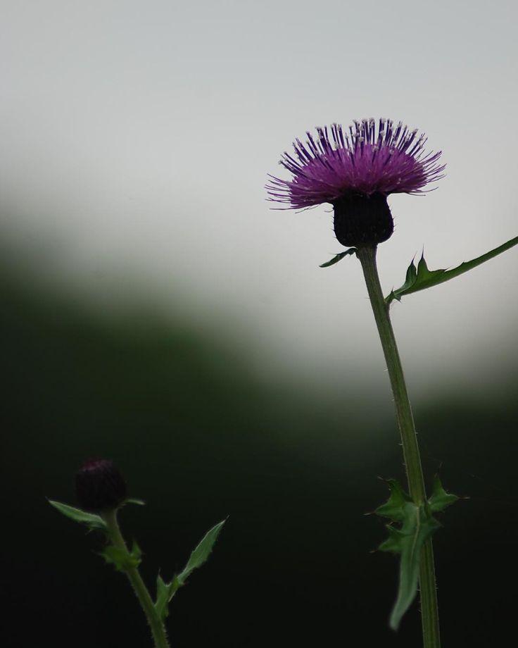 …2017.05.28 . もう一枚あざみを。 ちょっぴり哀愁漂う丸刈りさん ˃ᴗ˂ .  #花 #アザミ #薊  #キク科 #植物 #花フレンド #自然 #flowers #thistle #plant #nature . #一眼レフ #nikon #写真が好き  #写真好きな人と繋がりたい #花を撮るのが好き #花好きな人と繋がりたい #flowerslovers #flowerstagram  #flowerphotgraphy #ig_flowers #floral #blossom #ip_blossoms #botanical #bokeh #ig_japan #japan http://gelinshop.com/ipost/1524435536918487017/?code=BUn4gtFAh_p