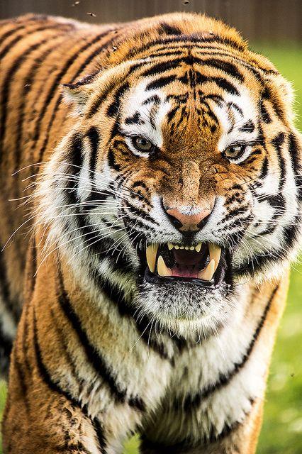 Tigre - você não pode possuir um tigre, pois a necessidade de matar é lhe primordial esta em seu DNA. Deixá-los na natureza é respeitá-los, e é bom admira-lo a grande distância...