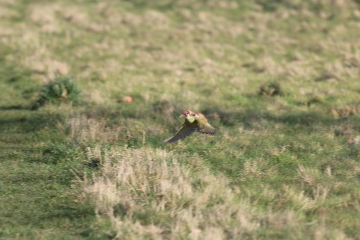 Weasel on European green woodpecker's back (attacking the bird) England