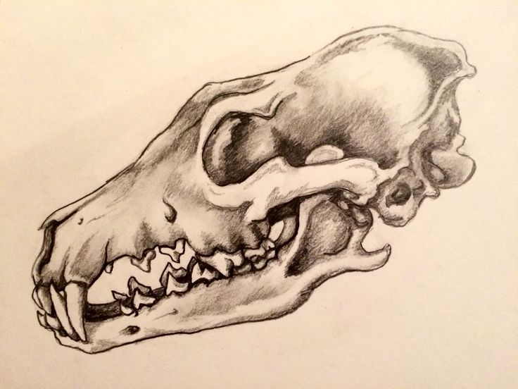 Coyote Skull Study, S. Lakin. This is the beginning of a shamanic drawing...
