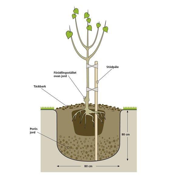 Plantera fruktträd - gör så här