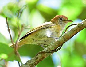 Hylophilus semibrunneus (Verderón castaño) (28231647886).jpgEl verdillo nuquirrufo3 (en Ecuador) (Pachysylvia semibrunnea), también denominado verderón castaño (en Colombia), verderón de gorro castaño (en Venezuela) o vireillo de capa rufa,2 es una especie de ave paseriforme, perteneciente al género Pachysylvia (antes colocado en Hylophilus) de la familia Vireonidae. Es nativo del noroeste de América del Sur.