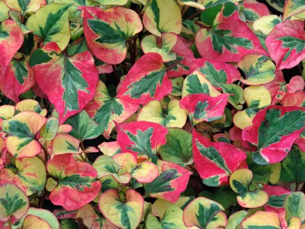 Flame (Houttuynia cordata)  A versatile groundcover plant that thrives in both damp or well-drained soil, this vigorous, deciduous, fast-growing perennial has upright stems and impressive multicolored leaves. Insignificant sprays of small white flowers are produced in the summer. This fully hardy plant prefers well-drained to wet soil and full to partial sun. H: 14 inches (35 cm); S: 3 feet (1 m)