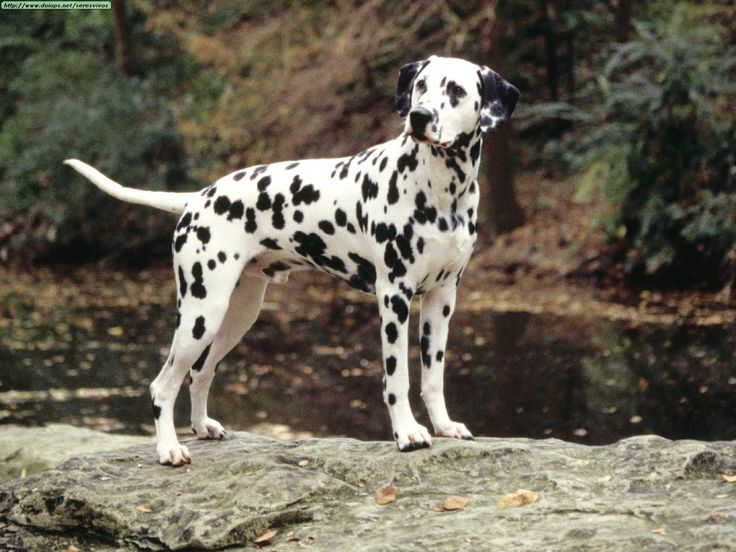 dalmation dog photo | Dalmatians love being outdoors