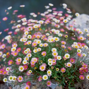 Erigeron. Grows in the toughest of spots