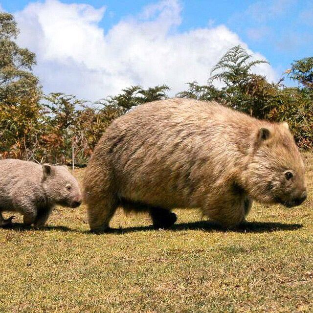 """Wait for me!"" A Common Wombat youngster scrambles to keep up with his parent on Maria Island, off Tasmania's East Coast, thanks to @mariaislandwalk."