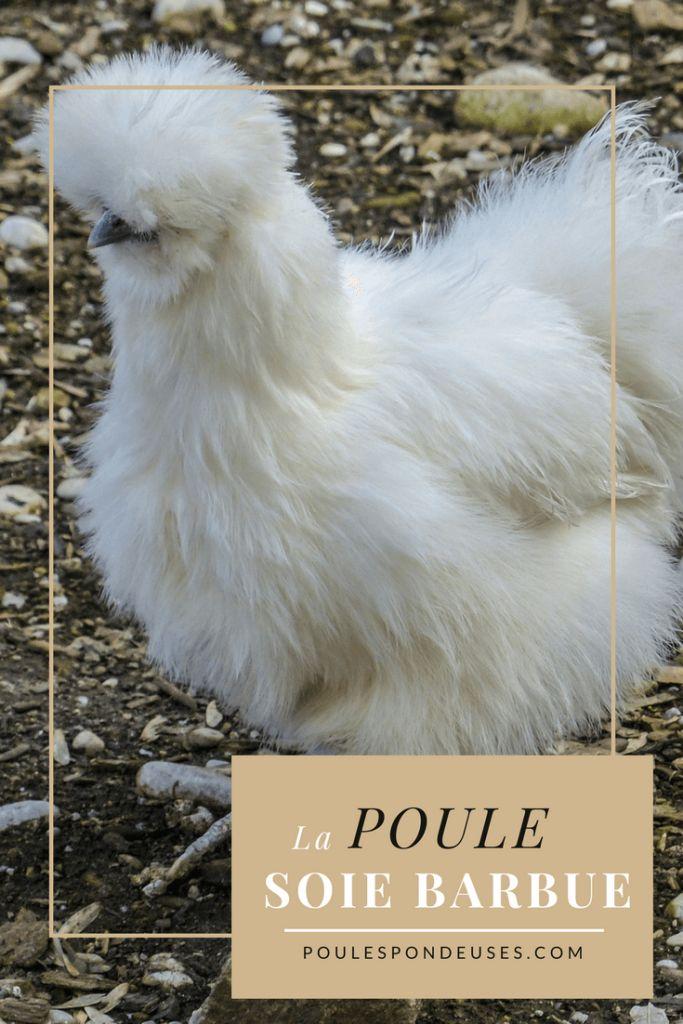 Les 73 meilleures images du tableau toute race de poule - Poule pondeuse a donner ...