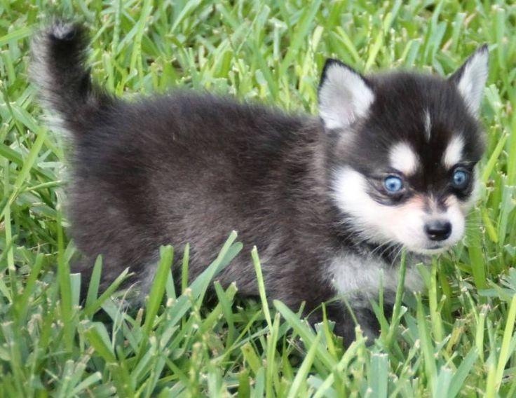 Alaskan Klee Kai Puppy For Sale In Texas Very Cute