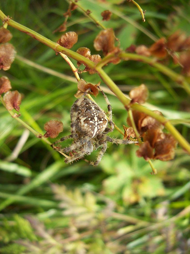 Araignée épeire diadème (arachnide)