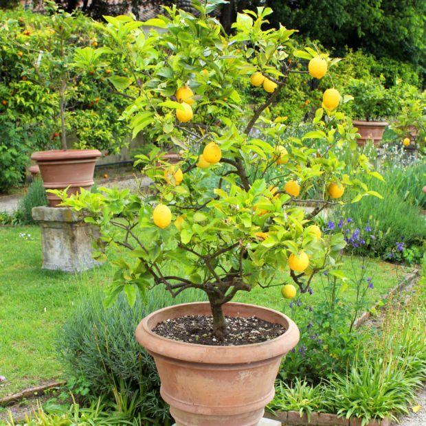 Citronnier Des 4 Saisons En 2020 Citronnier Arbre Fruitier Plantes Mediterraneennes