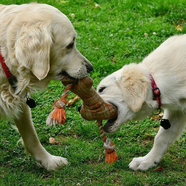 正確な歴史はほとんど不明ですが、19世紀の半ばに狩猟犬への関心が高まっていた頃のイギリスで、水の中でも勇敢に飛び込み、獲物を回収するのに役立つ犬種を、と交配を重ねた結果生まれたのが起源とされます。⠀ このため、被毛は水をはじき、ゴールデンレトリバーは泳ぎが得意です。⠀ 当時もともと狩猟能力が高い犬種でしたが、慎重な交配により改良され、その後ショーや競技に登場すると優れた犬として注目されていきました。⠀ 1913年以降、イエロー・レトリバー、またはゴールデンレトリバーと呼ばれていましたが、1920年、ゴールデンレトリバーという名前に統一されました。⠀ ⠀ #leoandlea #レオアンドレア #犬 #愛犬 #わんちゃん #いぬ #犬のいる生活 #犬バカ部 #いぬら部 #犬ら部