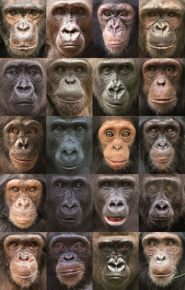 Researchers have sequenced the first full set of great ape genomes. Shown here: chimpanzees and gorillas.