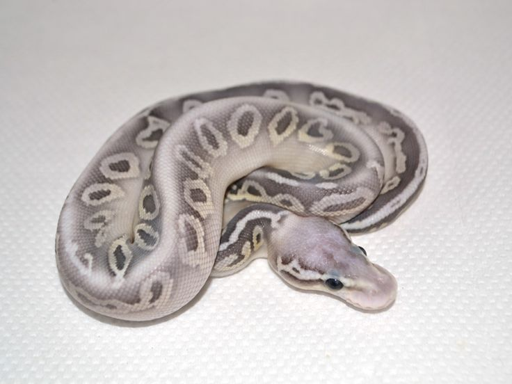 Butter Silver Streak Ball Python, pale gray and white snake, reptile, high end morph, exotic animal