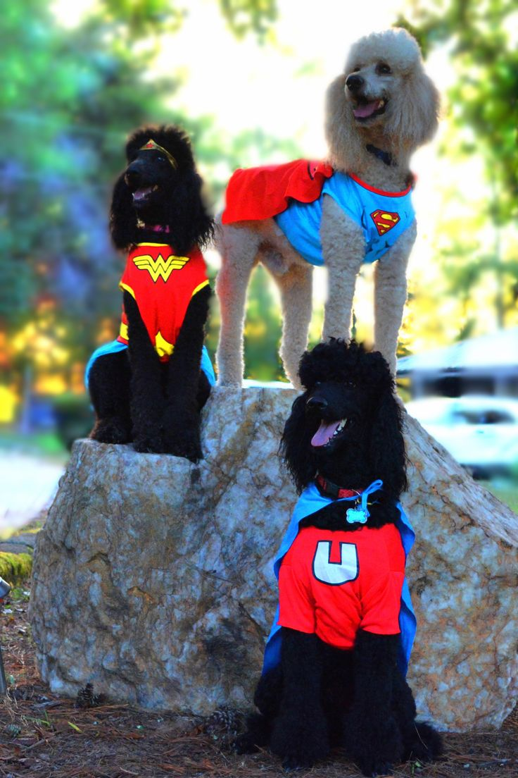 The Super Poodles!!! #Poodletude