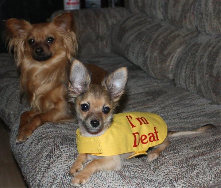 Pey and her hearing aid big brother Win. Long Coat Deer Head Chihuahuas. Halifax, Nova Scotia.