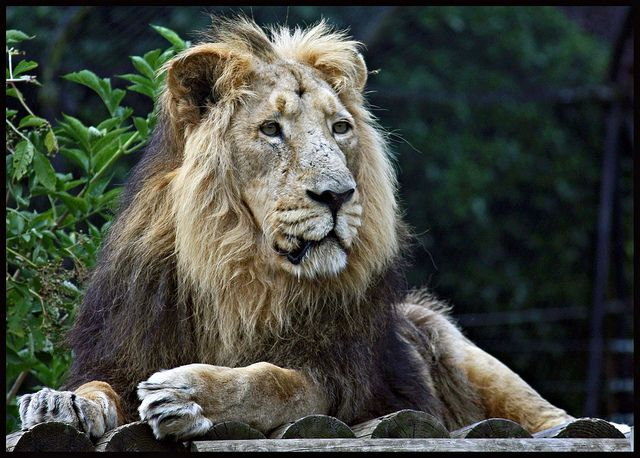 A lion at Chessington Zoo | Flickr - Photo Sharing!
