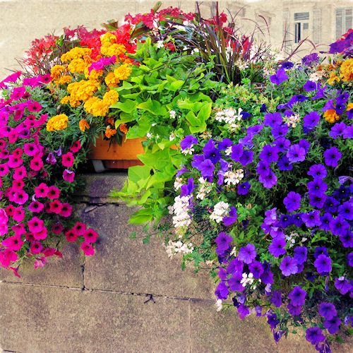 Beautiful color comboColors Flower, Colors Combos, Windows Boxes, Rainbows, Plants, Colors Combinations, Gardens, Decks Planters, Flower Boxes