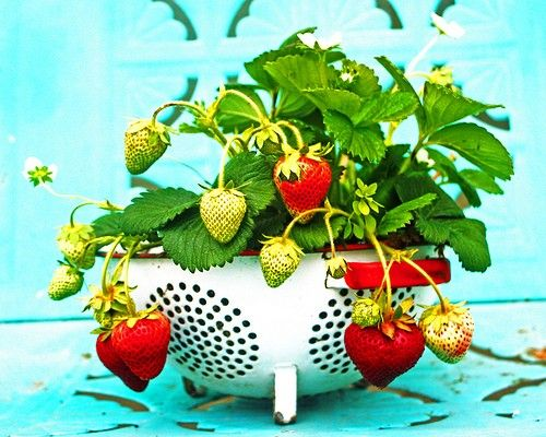 What a great photo....and what a fab idea. I have an old colander and some strawberry plants.
