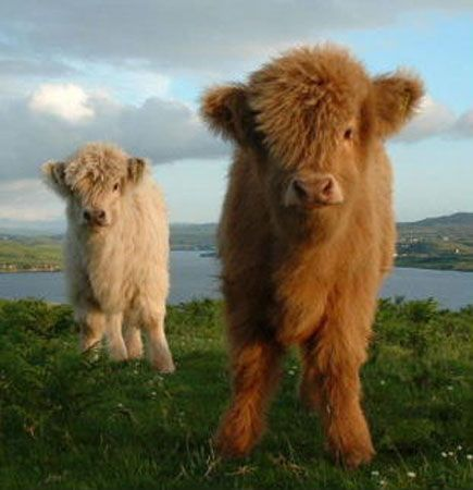Baby highland cows! So cute and fluffy!