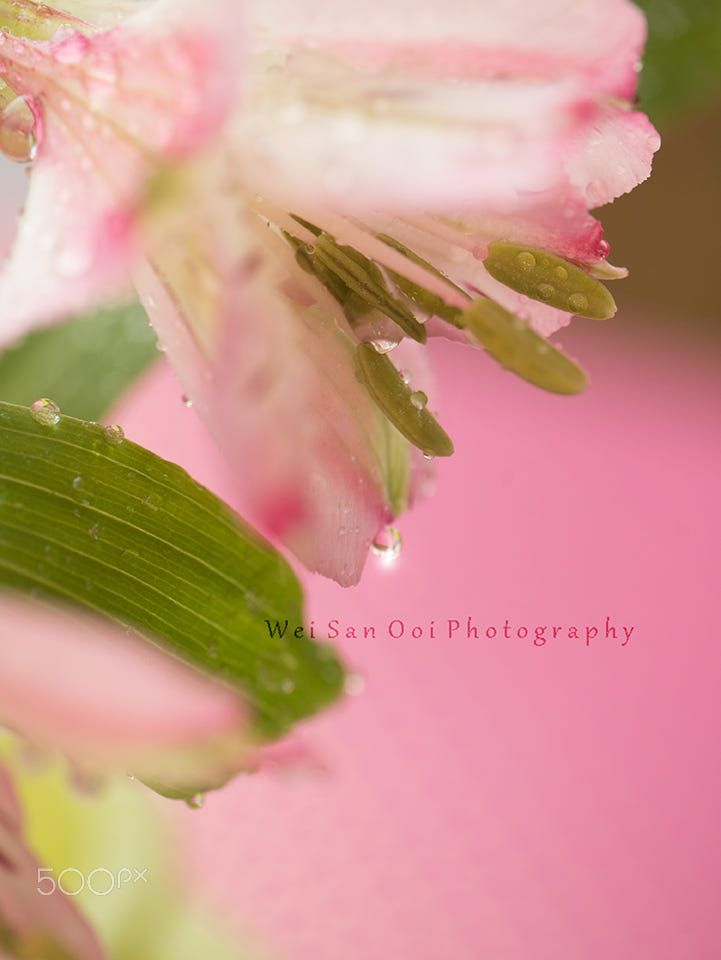 Pink Peruvian Lily by Wei-San Ooi on 500px