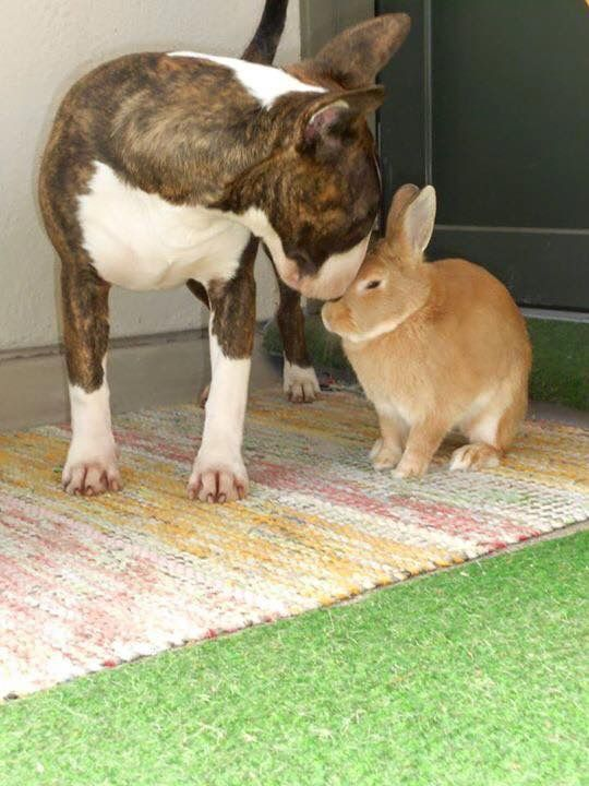 Bull Terrier and a bunny