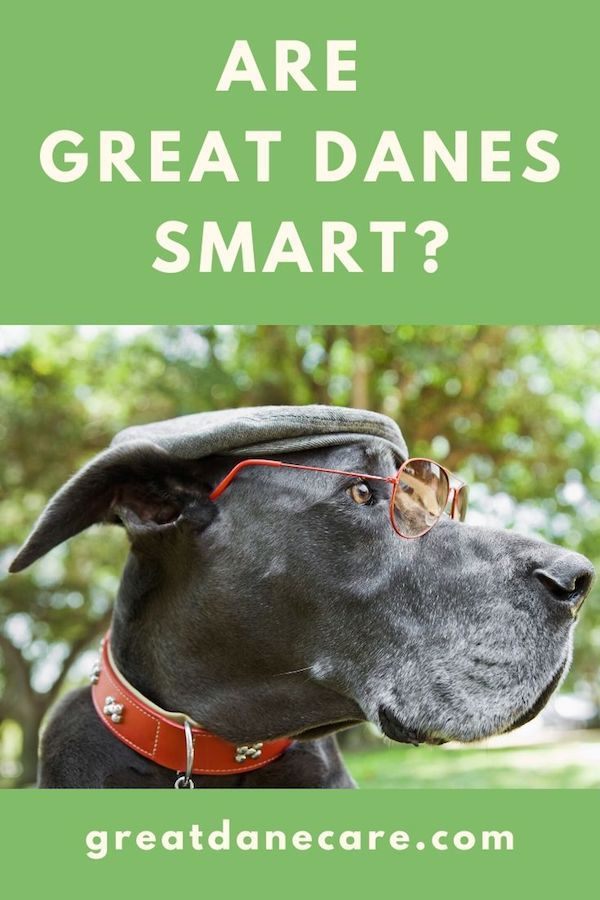 Just How Smart Are Great Danes Compared To Other Dogs Take A Look