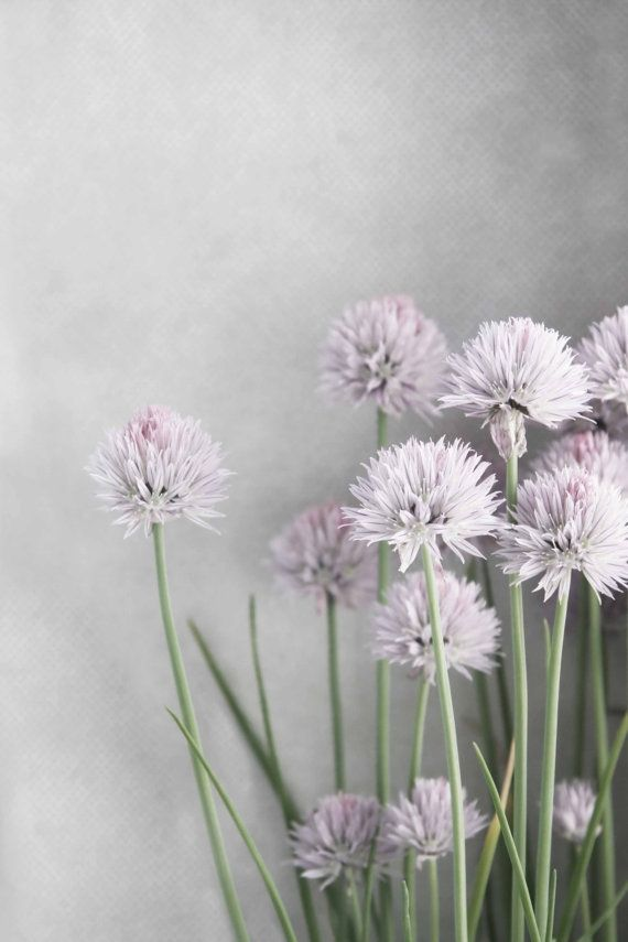 Lavender Flowers and Green Chives on Soft Gray -  Fine Art Photo 4 x 6, 8 x 12, 10 x 10, 12 x 12