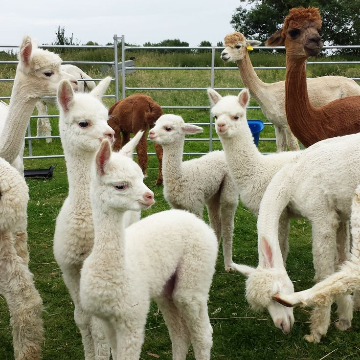 4 beautiful babies on the alpaca farm featured on the Purl Alpaca Designs' blog.