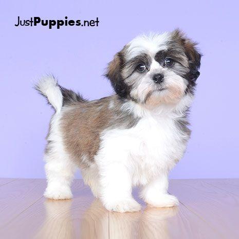 Puppies For Sale Orlando Fl Justpuppiesnet Favorite Fluffy