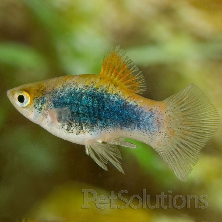 17 best images about freshwater aquarium fish non for Live tropical fish