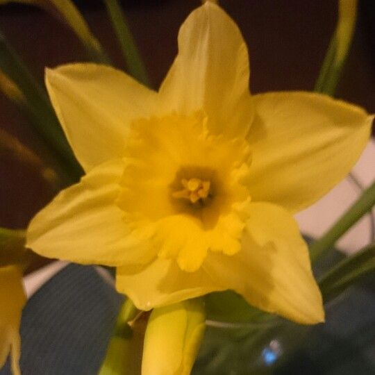 Daffodil. Little spring at home