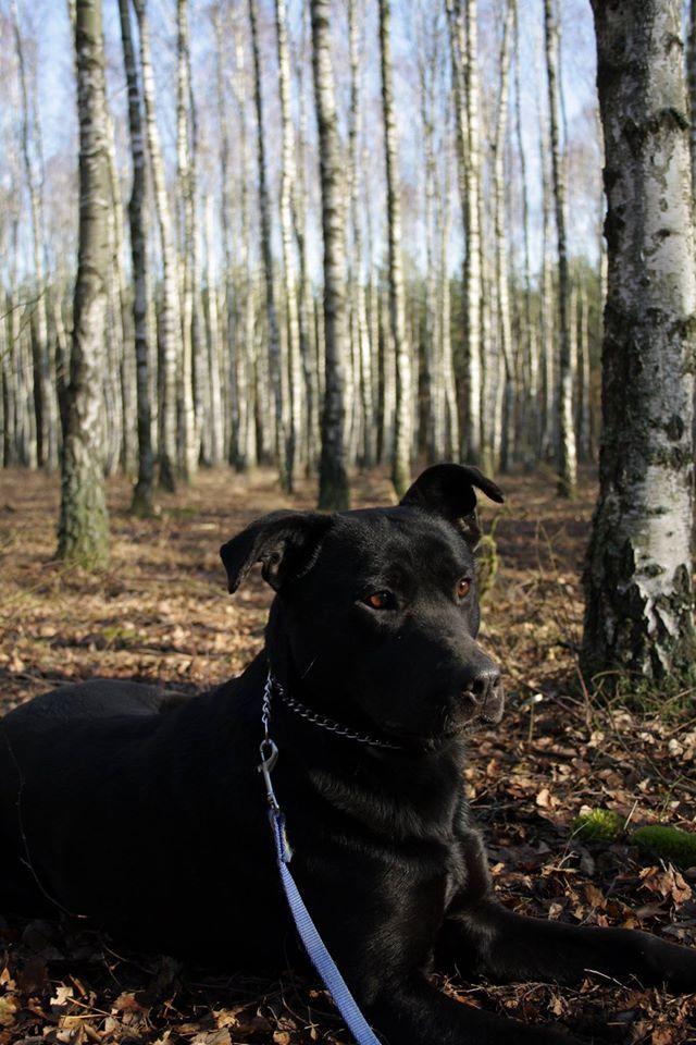 DEMON - piękny z wyglądu przypomina trochę amstaffa. Typowo psi charakter kocha swojego pana i będzie go bronił :-) Szuka domu konsekwentnego lecz łagodnego. Bardzo szybko łapie polecenia. Nieoszlifowany diament, który wymaga tylko odrobiny pracy. Pies ma 4 lata.
