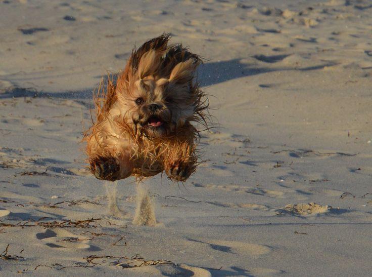 Hunde Foto: Hartmut und Nele - Mein Flughund am Strand von Boltenhagen Hier Dein Bild hochladen: http://ichliebehunde.com/hund-des-tages #hund #hunde #hundebild #hundebilder #dog #dogs #dogfun #dogpic #dogpictures