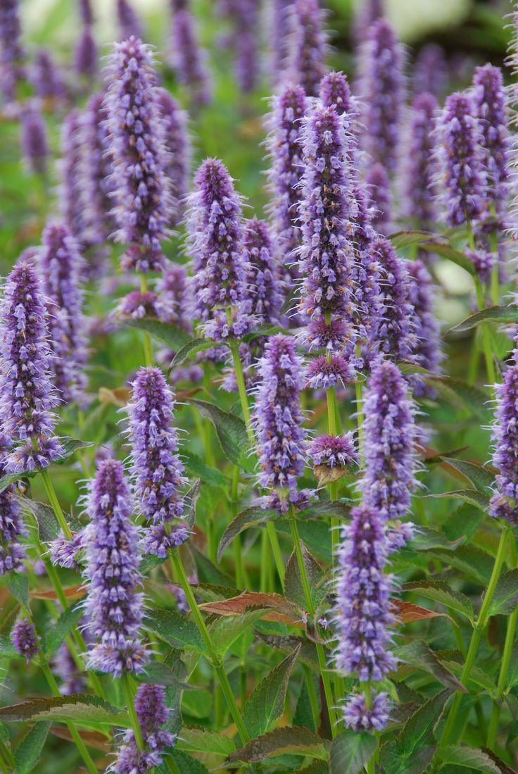 Agastache (Anisisop), Agastache 'Blue Fortune' | Bladen är stora, äggrunda och tandade. Blommorna sitter i rikblommande långa ax. Blommar juli-oktober.