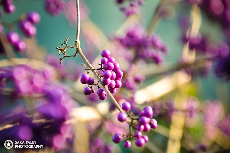 Sara Paley Photography @sarapaleyphoto #paleypix  purple berries in autumn