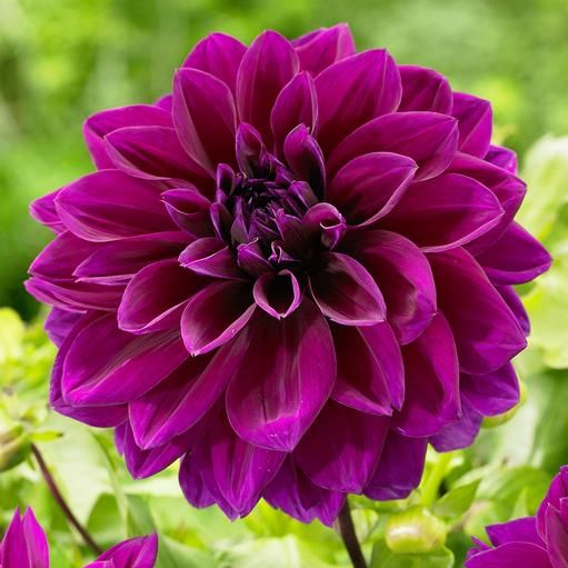 25 Best Ideas About Purple Dahlia On Pinterest Dahlia