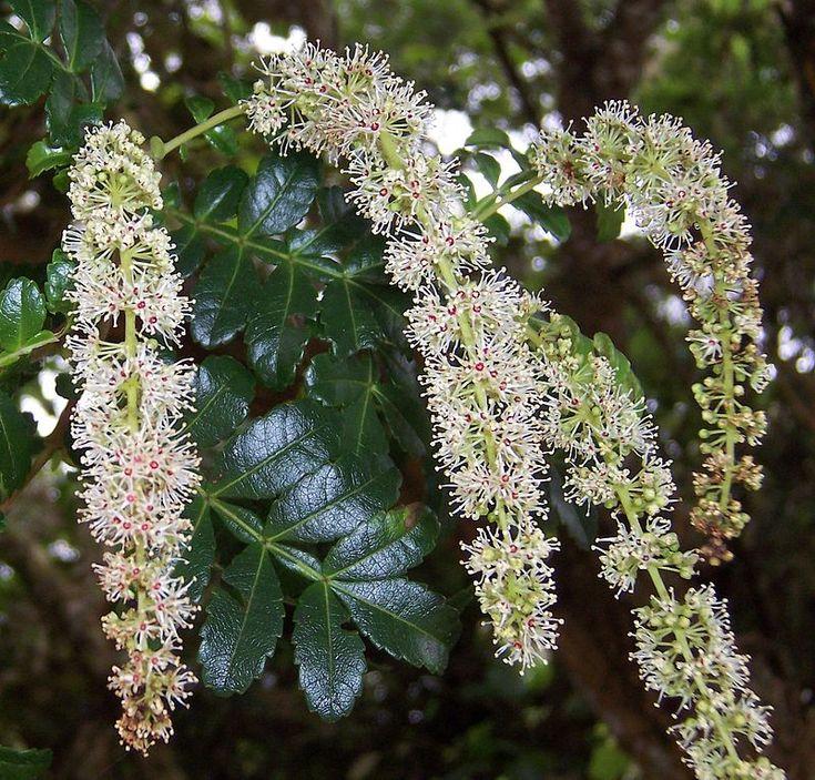 Weinmannia tinctoria flowers  - Réunion Island (Le Tévelave) – Wikipedia