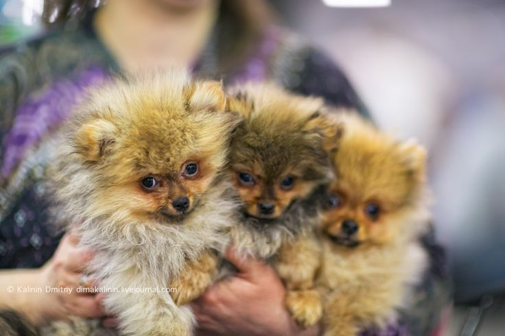 sobaka_ru: Международная выставка собак «Евразия-2015»