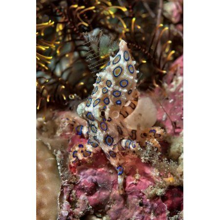 Blue-ring octopus and coral Raja Ampat Papua Indonesia Canvas Art - Jaynes Gallery DanitaDelimont (13 x 20)