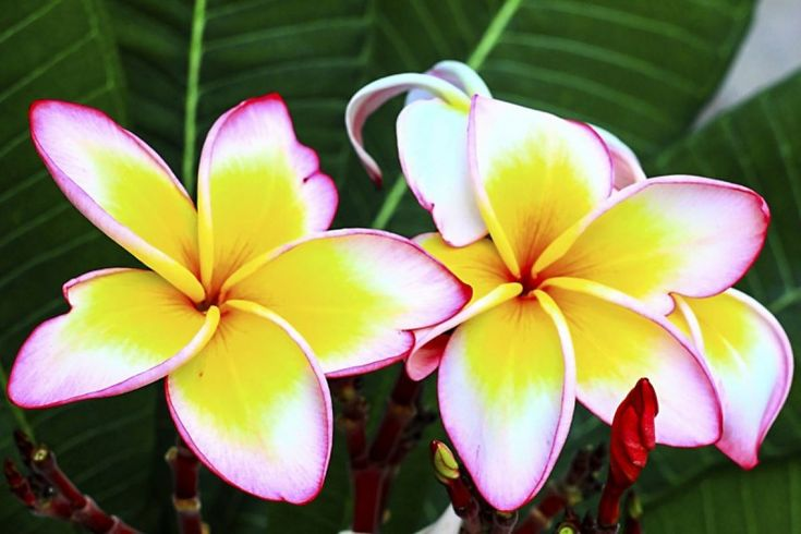 Flori exotice pentru buchetul miresei in 2016: frangipani