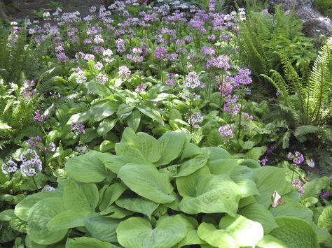 9 best schattenblumen images on Pinterest Shade garden, A b c and - gartenpflanzen winterhart immergrun