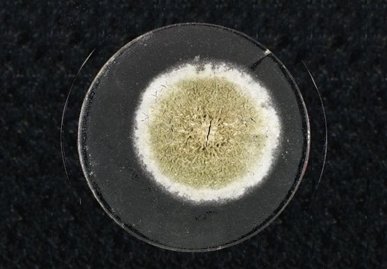 "This sample comes from the laboratory where Sir Alexander Fleming (1881-1955) left a number of glass plates coated with bacteria overnight in 1928. It was this that led him to stumble upon the antibiotic powers of ""mould juice"" - later known as penicillin - and so make the breakthrough that formed the basis for one of the great revolutions in modern medicine."