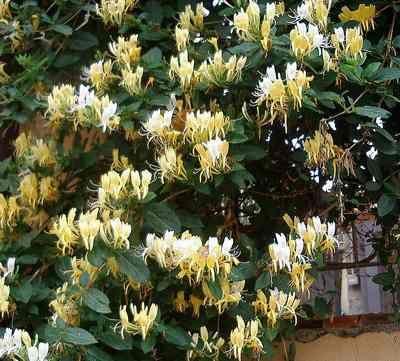 Honeysuckle 'Michael Rosse' (Lonicera etrusca)- hanımeli çiçeği