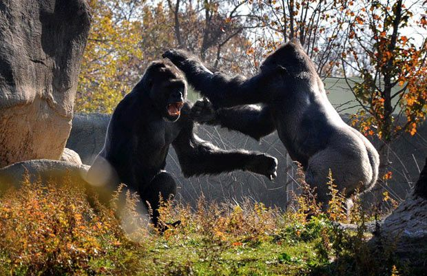 A gorilla goes toe-to-toe with his bigger brother in a quest to become the dominant male. In one corner, weighing in at more than 400 pounds, is Chip (right), a 14-year-old dominant silverback ruling the roost. In the other corner: 12-year-old Pende - a wannabe looking to take the crown of heavyweight champion of Detroit Zoo. They sparred in front of onlookers at the zoo, with Pende emerging as the surprise winner.