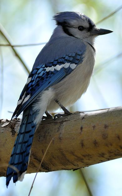 A blue jay sits in a tree in Camrose, Alberta on Monday, May 14, 2012. (Photo by John Lucas, Edmonton Journall) #birds #bluejay