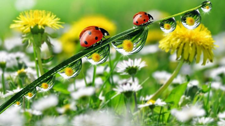 Morning Dew Drops Grass With Water Ladybug Yellow Meadow Flowers Dandelion Desktop Hd Wallpaper For Mobile Phones Tablet And Pc 1920×1200