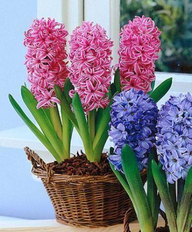Jácint és más hagymás virágok hajtatása cserépben