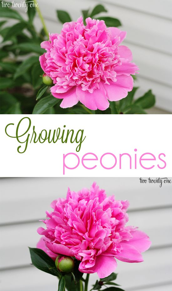 Great tips on growing peonies
