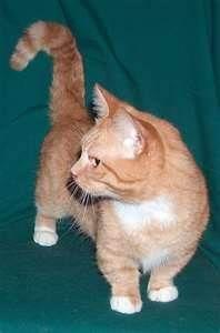 Katzenversion eines Corgi !!!! und er sieht aus wie Lincoln (die letzte Katze, die ich hatte-er war …   – Pets I one day want