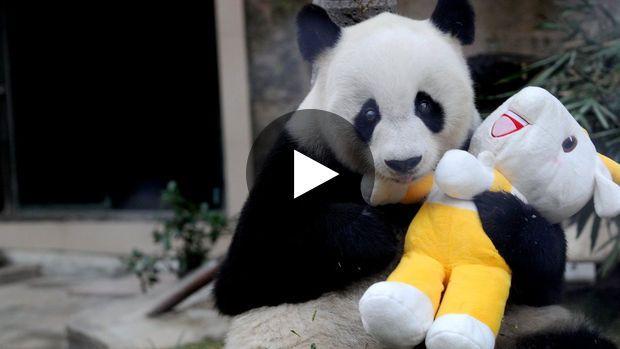 Un très joyeux anniversaire à Pan-Pan, le plus vieux panda mâle géant, qui vient de fêter ses 30 ans, soit...